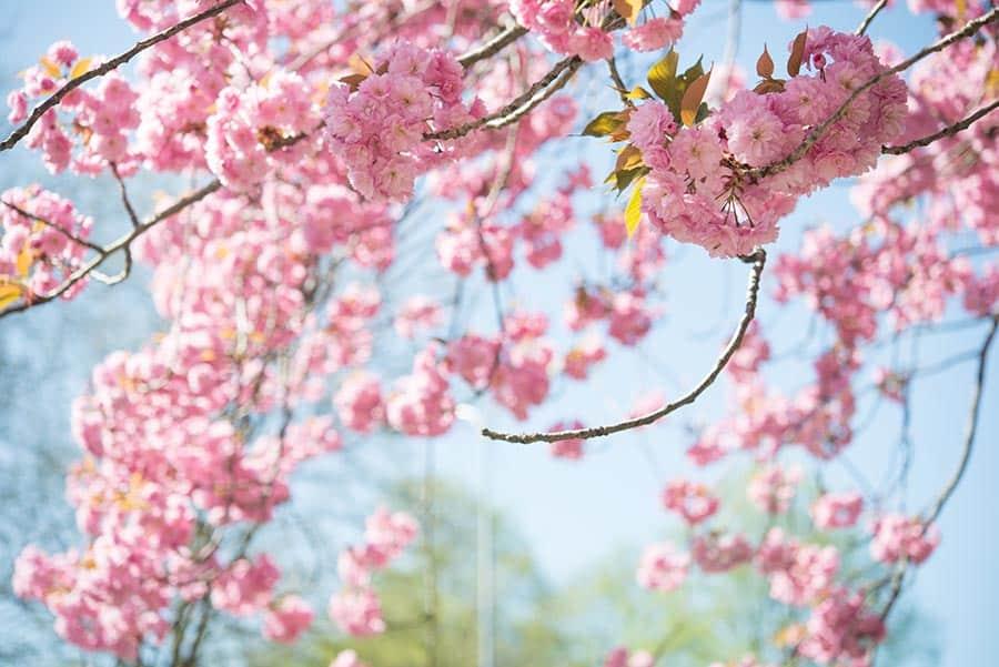 Japanese Cherry Blossoms at the Berliner Mauerweg