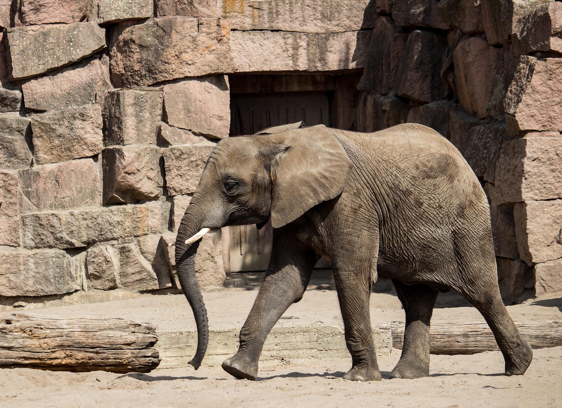 Elephants At The West Berlin Zoo - Zoologisches Garten
