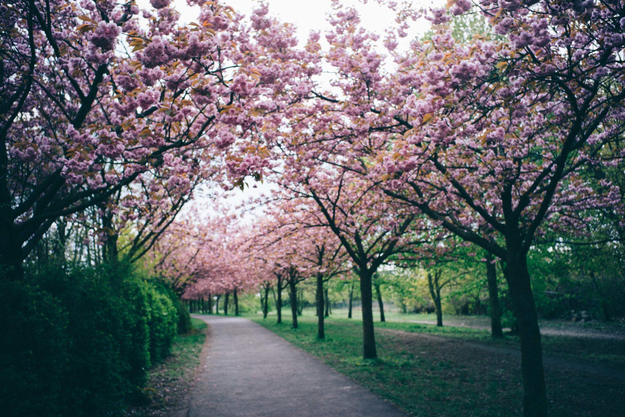 Mauerweg Berlin - Japanese Cherry Blossoms
