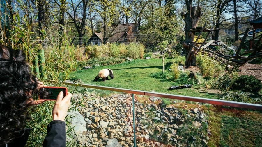 Zoo Berlin - Panda Bears