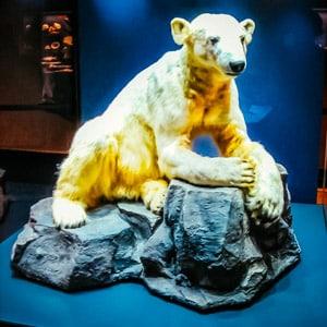 Knnut the Polar Bear