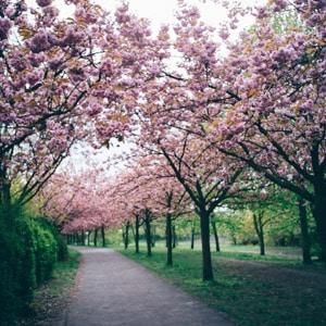The Japanese Cherry Blossoms at the Bösebrücke