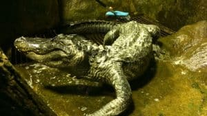 Adolf Hitler's Alligator - Saturn
