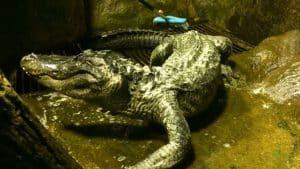 Adolf Hitler's Alligator - Saturn